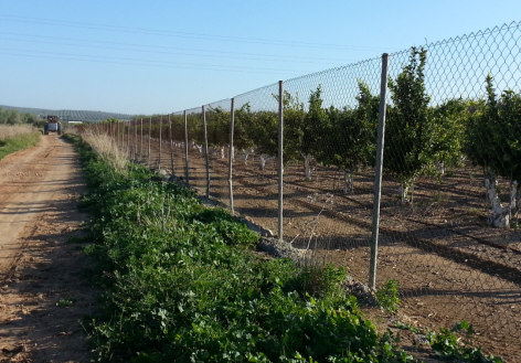 Orange trees cultivated on the right