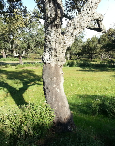 Cork oak tree. I'm told it takes 10 years to regenerate the bark until the next harvest